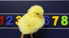 Chicks & Number Lines