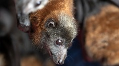 Science Times - COVID-19 May Have Come from Bats, WHO Now Investigates How It's Transferred to People