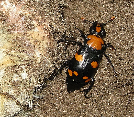 New Study Shows How Beetles Keep Rivals Off to Feed Their Future Offspring - Science Times