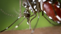 Science Times - Newly Discovered Mosquito on Guantanamo Bay: A Revelation of How Globalization Threatens Another Pandemic