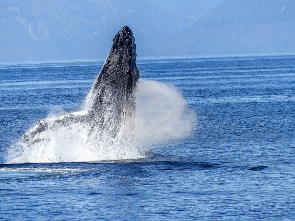 Humpback Whales in Perth