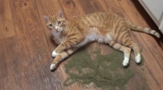 Catnip Put Cats In A Euphoric State But Also Ward Off Mosquitoes, Study