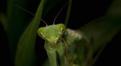 Male Praying Mantis Developed A Mechanism To Avoid Decapitation After Mating