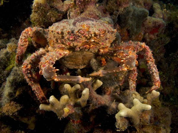 Seaweed-Eating Crabs Could Help Save Threatened Coral Reefs