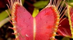 Venus Flytraps Generate Magnetic Fields When Eating, Physicists Said