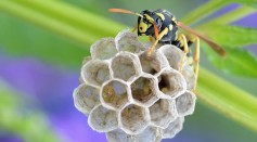 Science Times - Babysitting for Neighbors: This is What Tropical Paper Wasps Do, According to Research