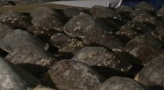 Volunteers Rescue Thousands of Stunned Sea Turtles From Texas Freeze
