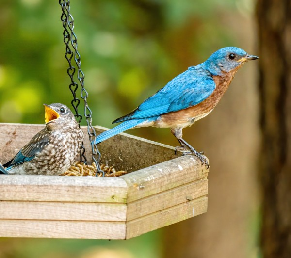 Science Times - Study Shows How Natural Gas Compressor Noise Impacts Songbirds' Reproductive Success