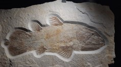 Fossilized Bony Lungs Of Ancient Fish Reveals It Is As Big As Great White Shark