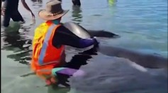 28 Trapped Whales In New Zealand Are Refloated In An Attempt To Rescue Them