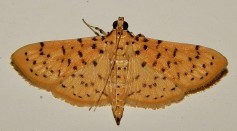 Science Times - Like Humans, Moths Prefer Dim, Red Light for a Romantic Night