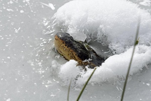 Alligator Snouts Out in the Ice