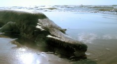 Prehistoric Alligator-Like Fish Washed Up Ashore In Singapore 10,000 Miles Away From Its Native Home