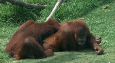 Science Times - Great Apes at San Diego Zoo, First Non-Humans to Receive COVID-19 Vaccine