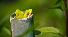 Female Frogs Use Their Lungs As Noise-Cancelling Headphones to Filter Unwanted Males
