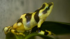 Variable Harlequin Toad, A Critically Endangered Species Was Bred In Captivity For the First Time