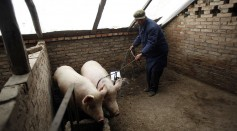 Science Times - African Swine Fever in China: New Variants Detected are Milder but Highly Infectious