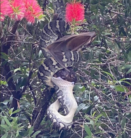 A Snake Swallows a Bat on an Australian Backyard