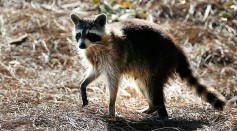 Science Times - Raccoons in Arlington Test Positive for Canine Distemper