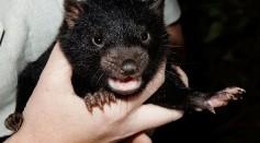 Science Times - Tasmanian Devil Tumor Disease