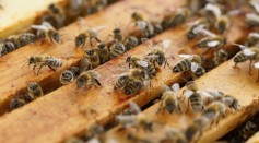 Science Times - 'Bee Whisperer' Rescuing Hive with No Gear Watched by Millions via Online Video