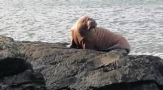 Walrus Found in Ireland