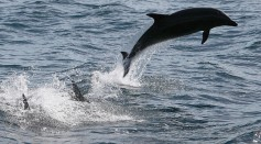 Science Times - Bottlenose Dolphins: Adjusting to Endure Intrusive Coastal Constructions, Study Concludes