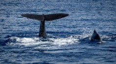 Sperm Whales in the 19th Century Share Information With Each Other to Avoid Whalers, Study
