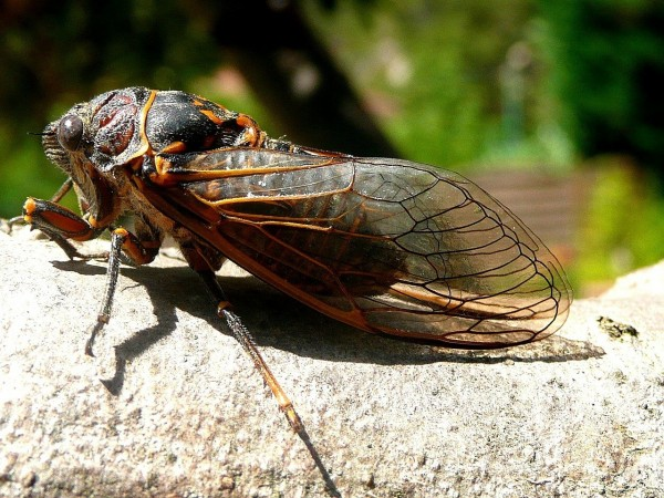 Brood X Cicadas Are Crawling Out of the Ground Sooner Than Expected
