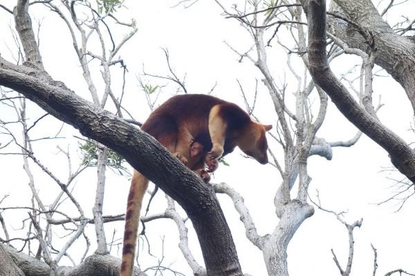Taronga Zoo Welcomes Baby Tree Kangaroo