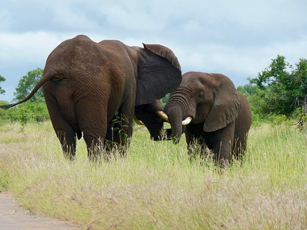 Science Times - Endangered Species: Classification of These Two African Elephant Types Has Now Been Downgraded