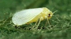 Silver Whitefly