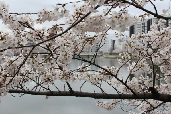 Cherry Blossoms and Climate Change: Japan's Earliest Bloom in 1,200 Years Blamed on Global Warming
