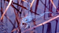 Blue Moor Frog Once Again Seen in the UK After 700 Years In time For Mating Season