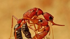 Indian Jumping Ants Shrink and Regrow Their Brains to Become Queen of the Colony