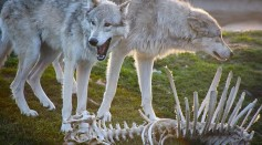 Science Times - Gray Wolves: How Did These Large Predators Survive Mass Extinction 11,700 Years Ago?