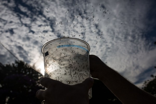 Sao Paulo Lab Produces Genetically-Modified Mosquitoes To Combat Zika Virus