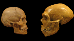 Skull comparison between Homo Sapiens (L) and Neanderthals (R) Against a Black Background