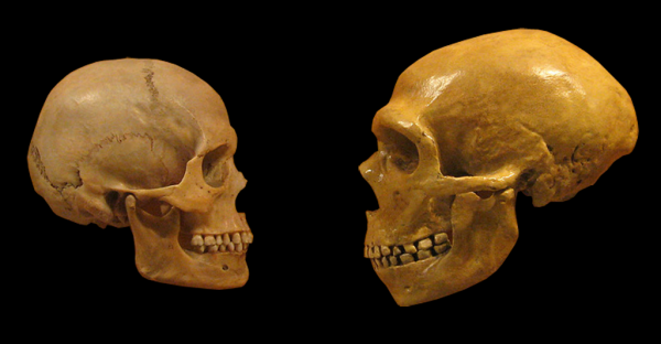 Skull comparison between Homo Sapiens (L) and Neandethals (R) Against a Black Background