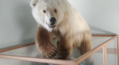 Hybrid Polar-Grizzly Bears Are Taking Over the Arctic Due to Climate Change