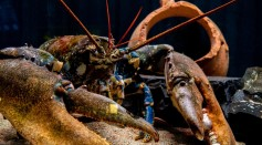 Lobster Underbellies Inspired MIT Engineers to Make Better Hydrogel For Artificial Tendons