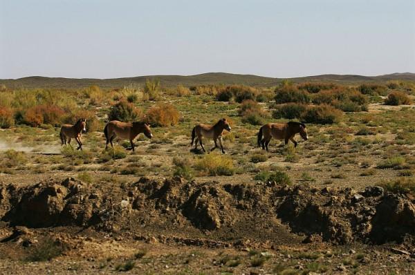 Przewalski's Horse In Xinjiang