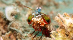 Baby Mantis Shrimp Starts Throwing Knockout Punches At Just 9 Days Old