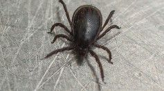 Science Times - Lyme-Carrying Ticks in Large Quantities Discovered in California Beaches