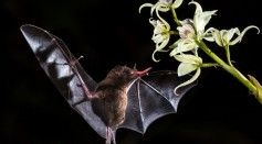 Bats Already Know Echolocation Since Birth Unlike Other Animals, Research Reveals