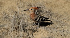 Science Times - Stinky Bird's Egg Humans Usually Hate an Essential to Female Hoopoes