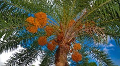 Science Times - Ancient Date Palm Tree Genomes Germinated from 2,000-Year-Old Seeds