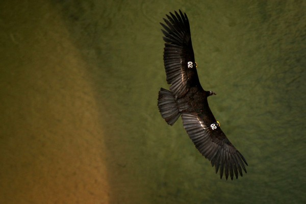 Science Times - Giant California Condors Discovered in Woman's Home Causing Damage, Leaving Poops All Over the Place