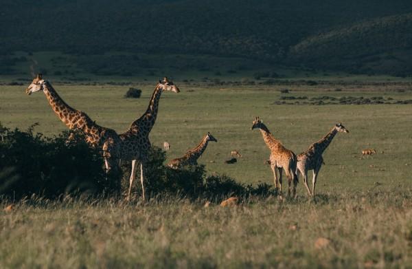 flock-of-wild-giraffes-pasturing-in-green-savanna-4577783/
