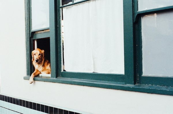 animal-dog-pet-window-2816